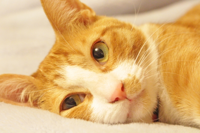 ペット 猫